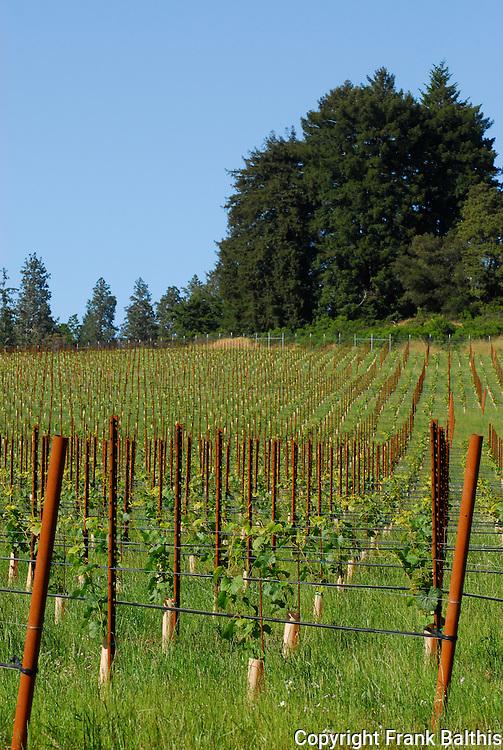 Young vineyard in Bonny Doon