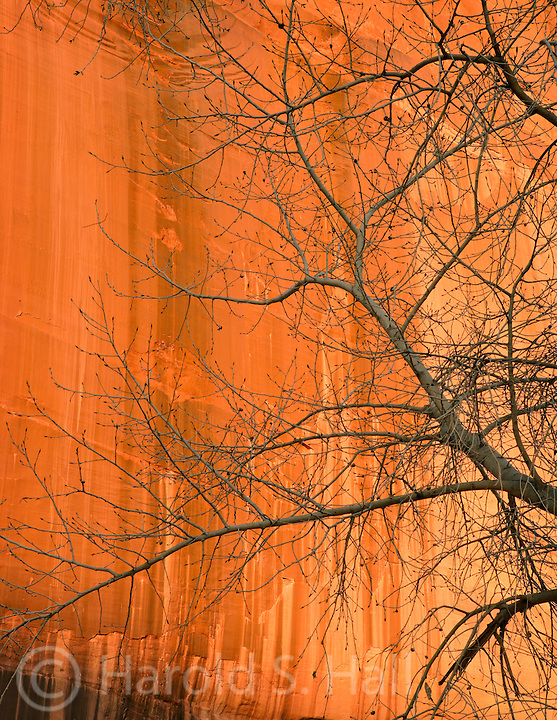 A cottonwood tree is silhouetted against the orange sandstone walls of Canyon de Chelly in Arizona.
