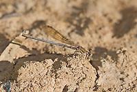 338400020 a wild female blue-ringed dancer argia sedula perches on the ground near topock marsh in havasu national wildlife refuge mojave county arizona united states
