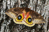 Io Moth, Automeris io, female on Mesquite Tree Bark in defensive pose, Willacy County, Rio Grande Valley, Texas, USA