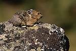 Pika, Washington