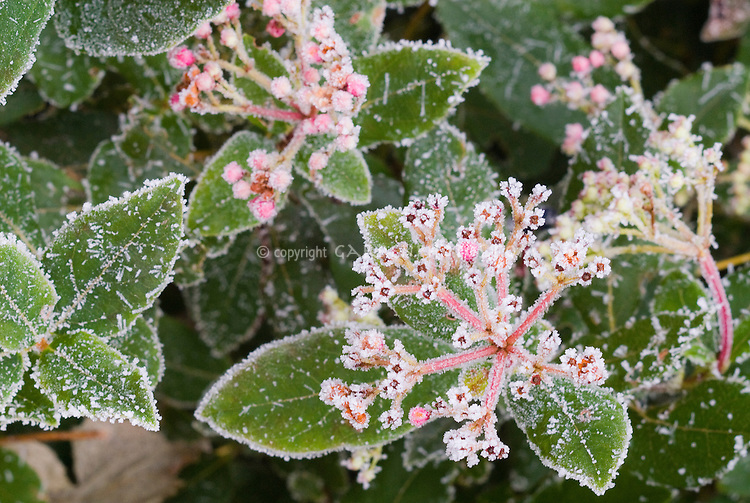 Viburnum tinus 'Gwenllian' in frost additonal 241 . Rime on edges