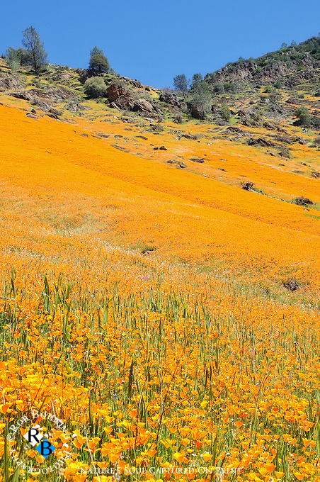 After the wildfire from the year before, the mountainsides were on fire with poppies and wildflowers in the Merced River Canyon