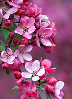 Crabapple blossoms fill the tree in spring at an arboretum in DuPage County, Illinois