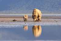 Carol and spring cubs dig for clams. Kodiak grizzly bear (Ursus arctos middendorffi), Hallo Bay