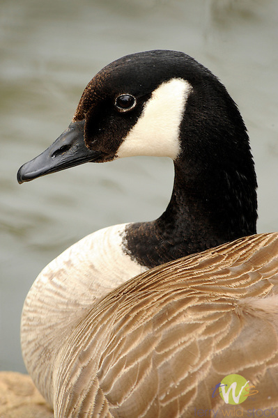Canadian Goose. Resting.