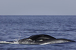 Blue Whale lies on his side, while feeding on krill at the surface