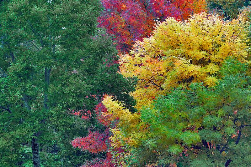 American Ash (Fraximus Americana) in fall color. Hoyt Arboretum. Portland. Oregon