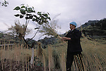 woman, farmer (senior) wearing traditional head dress harvests rape (canola) plants; rural China near Wanxian; sky; agriculture; 042103