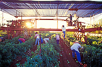 Workers harvesting tomatoes on the Jefts Farm, Island of Molokai