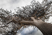 A ground level view of a coastal pine grasping at clouds.  Año Nuevo State Reserve on the California coast.