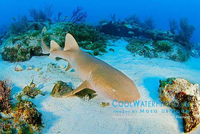 nurse shark, Ginglymostoma cirratum, Key Largo, Florida Keys National Marine Sanctuary, Atlantic Ocean.