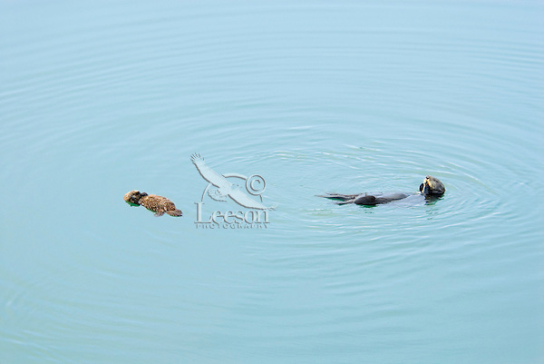 Sea Otter (Enhydra lutris) mom feeds while young pup sleeps.