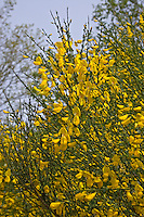 Besenginster, Besen-Ginster, Besenpfriem, Ginster, Cytisus scoparius, Sarathamnus scoparius, Common Broom, Genêt à balais