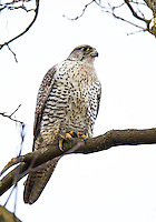 An adult gyrfalcon perches in a tree overlooking the Snohomish valley where an abundance of ducks provides its primary diet.<br />