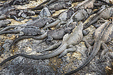 GALAPAGOS ISLANDS, ECUADOR, marine iguanas hanging out on the rocks on Fernandina Island