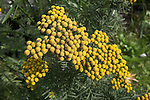 Yellow flowers of tansy plant
