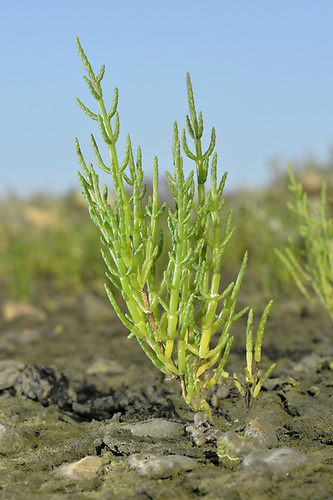 Common Glasswort - Salicornia europaea