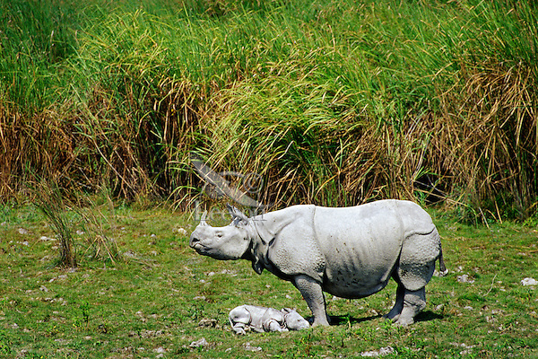 Greater Indian Rhinoceros or Asian One-horned Rhinoceros (Rhinoceros unicornis), Kaziranga National Park, India.  Mother with young calf.  Calf injured during nocturnal tiger attach.  Mother standing guard to protect it.  It died later in day.