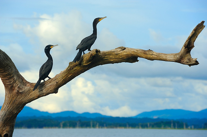 Agua mágica / cormoranes en lago Bayano, Panamá.