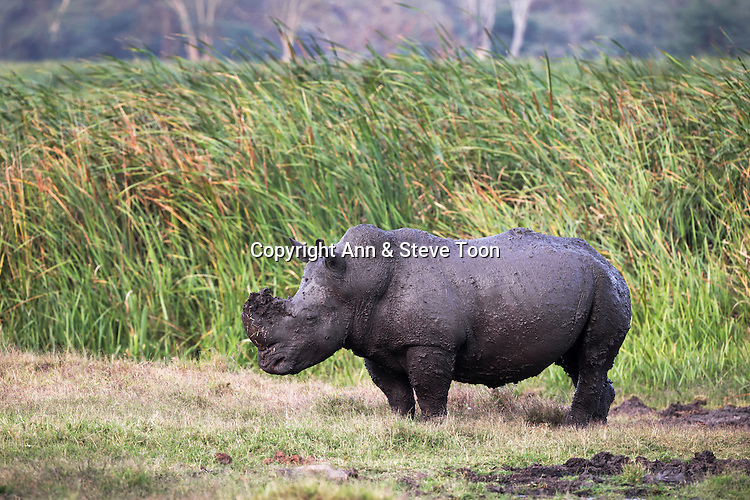 White rhino (Ceratotherium simum), covered in mud after wallowing, Lewa Wildlife Conservancy, Laikipia, Kenya, September, 2012