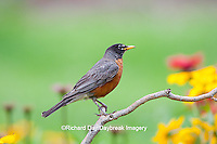 01382-05118 American Robin (Turdus migratorius) on perch near flower garden, Marion Co. IL