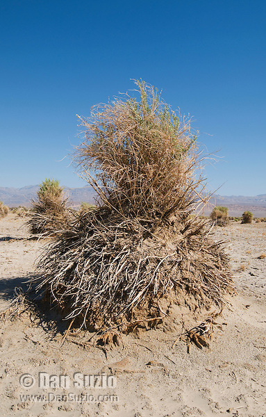 Arrowweed, Pluchea sericea, at Devil's Cornfield, Death Valley National Park, California