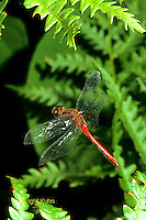 1O05-028a  Skimmer Dragonfly flying - White-faced Meadowhawk male - Symepetrum obtrusum