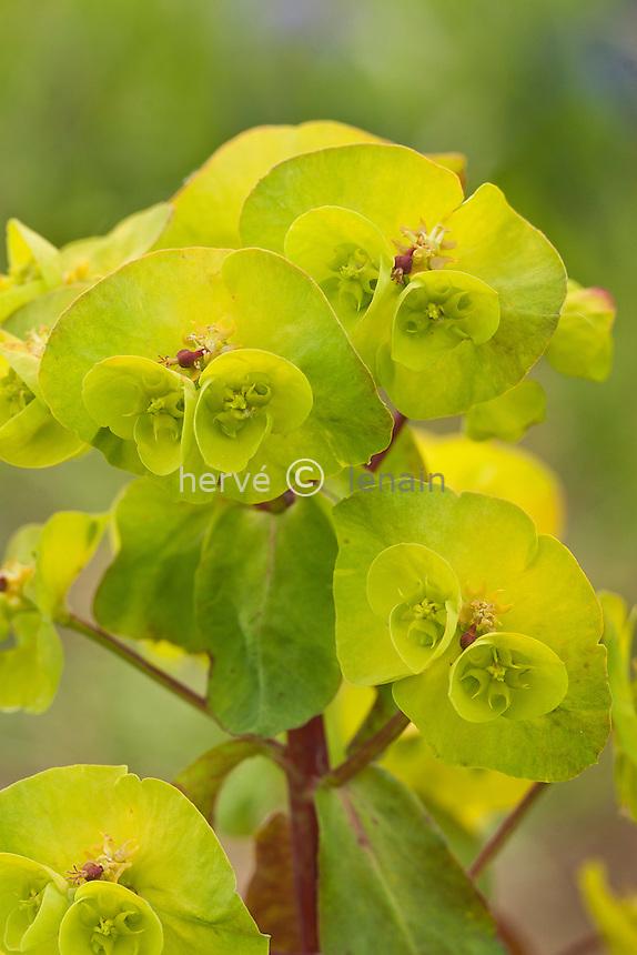 euphorbe amygdaloides 'Rubra', (Euphorbia amygdaloides 'Rubra') : inflorescence // Euphorbia amygdaloides 'Rubra'