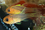 Apogon robbyi, Striped cardinalfish, Roatan