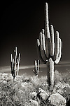 Three desert saguaros