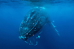Humpback whale, Vava'u, Tonga<br />