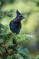 Steller's Jay (Cyanocitta stelleri macrolopha) on a Ponderosa Pine (Pinus ponderosa) in Rocky Mountain National Park, Colorado.