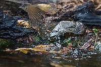 A Streak-eared Bulbul (Pycnonotus blanfordi) explodes in flight with a splash from a watering hole. (Kaeng Krachan, Thailand)