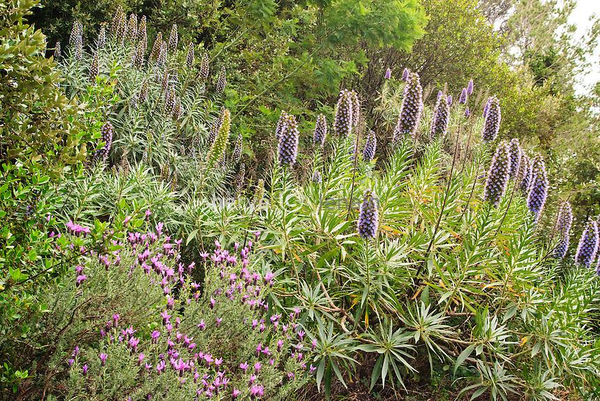 Domaine du Rayol : lavande papillon et vipérine, Echium candicans (syn. Echium fastuosum) // Echium candicans (syn. Echium fastuosum), Pride of Madeira