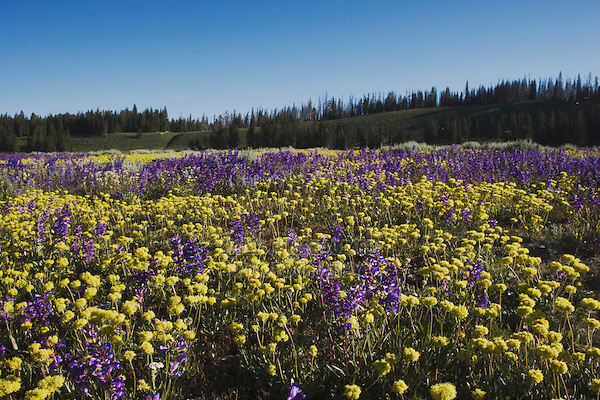 Wildflower Field, Yellowstone National Park, Wyoming, USA