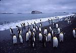 king penguins,South Georgia Island