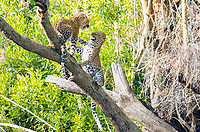 African leopard, Panthera pardus pardus, fighting, Masai Mara, Kenya, Africa