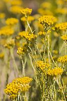 Europe, Espagne, Navarre, env d'Arguedas: Parc Naturel des Bardenas Reales, Flore:   Helichrysum stoechas  // Europe, Spain, Navarre, near Arguedas: Bardenas Reales Natural Park,White Bardena, Flore : Helichrysum stoechas