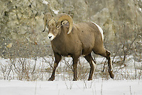 Male Bighorn Sheep walking across some snow