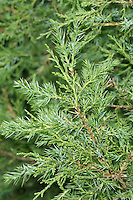 Chinese Juniper Juniperus chinensis (Cupressaceae) HEIGHT to 18m. Large evergreen with dark-green foliage and a sparse habit when mature. BARK Reddish-brown, peeling in vertical strips. BRANCHES Level to ascending. LEAVES Young leaves needle-like, 8mm long with sharply pointed tips and 2 bluish stripes on upper surface; mostly in clusters of 3 at base of adult shoots, radiating at right-angles. Adult leaves small and scale-like, closely adpressed to shoot. Crushed leaves smell of cats. REPRODUCTIVE PARTS Male cones small, yellow; grow on tips of shoots. Female cones rounded, up to 7mm long, bluish-white at first, ripening purplish-brown in second year. STATUS AND DISTRIBUTION Native of Japan and China, often planted in our region in parks, gardens and churchyards