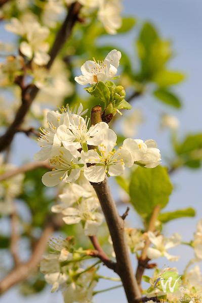 Plum tree blossoms.