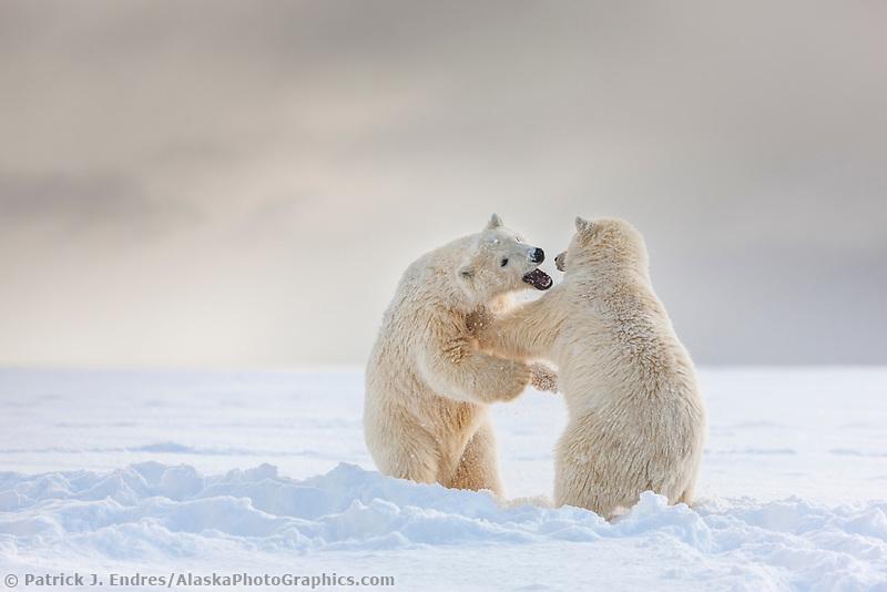 Polar bear cubs play fight on a snow covered island in the Beaufort Sea, Arctic, Alaska.