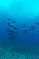 Spinner dolphins swimming over alamita grass,Island of Maui Hawaii.<br />