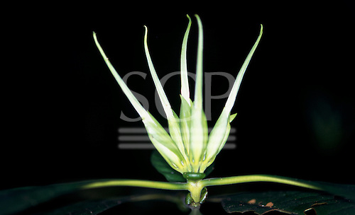 Makande, Gabon. Close up of five white flower shoots; Leptactina sp.