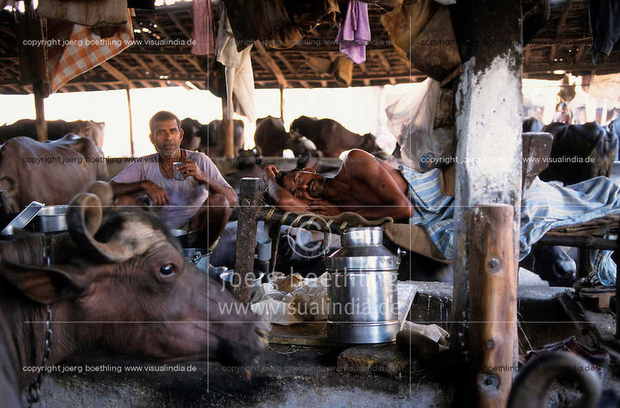 INDIA Mumbai, urban agriculture, stable with buffalos for milk production in living area in suburban Andheri , milk men live and sleep in stable/ INDIEN Mumbai, urbane Landwirtschaft, im Stadteil Andheri befinden sich Bueffelstaelle in Wohngebieten, nach dem Melken wird die frische Milch direkt verkauft