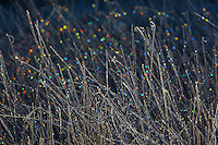 Bokeh in Frosty Grass at Bosque Del Apache, New Mexico