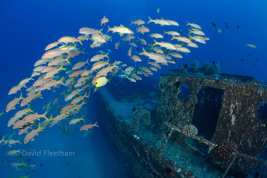A school of yellowfin goatfish, Mulloidichthys vanicolensis, on The Wreck of The Carthaginian, a Lahaina landmark, sunk as an artifical reef off Lahaina, Maui, Hawaii in December 2005.