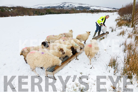 Leo McCarthy tends his sheep at Foilmore on Friday.