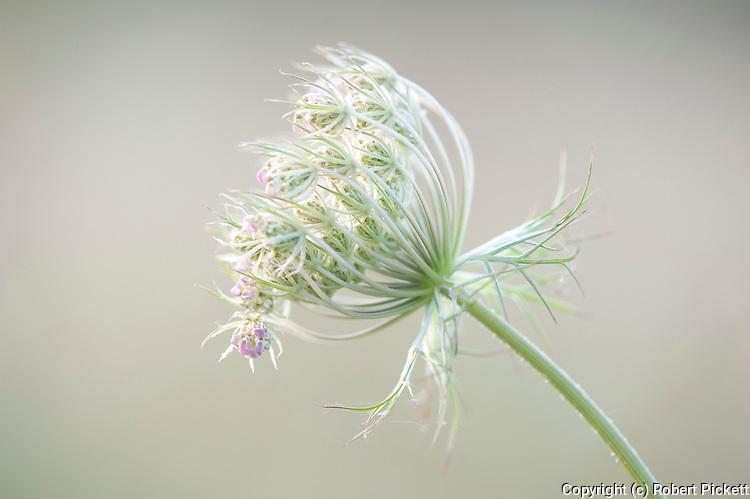 Flowering head of Apiaceae or Umbelliferae, Fagaras Mountains, Transylvanian Carpathians Alps, Romania,